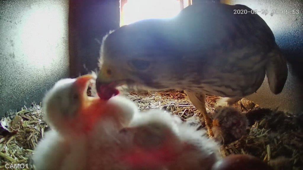 Turmfalke füttert Küken, Vogel-Filme